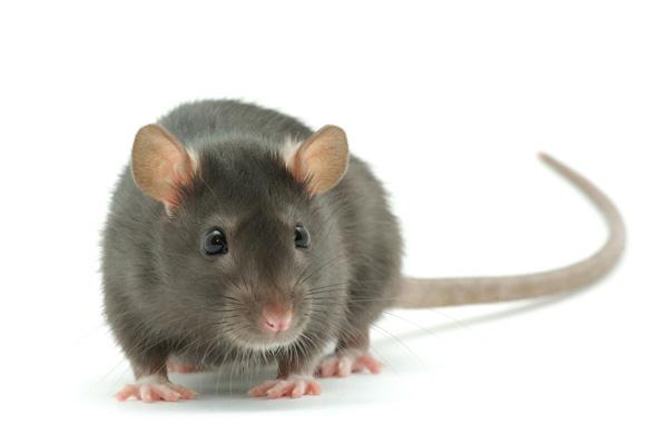 Rodentia 3D - Rat